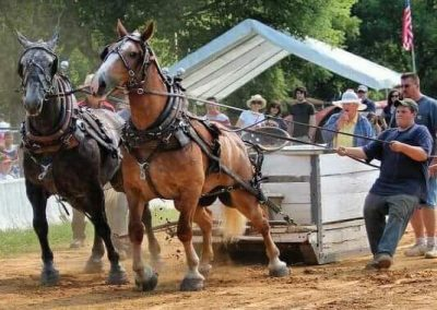 Draft Horses with box sled
